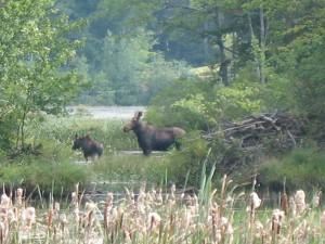 Moose in NH
