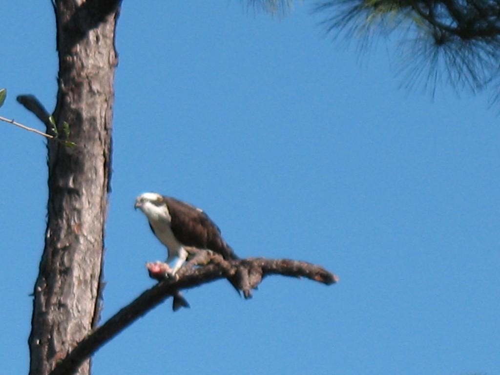 Hermit Lake NH Osprey