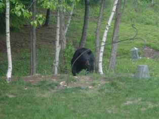 Bear taking bird feeders in sanbornton nh