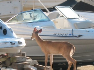 This deer is checking out the boats?