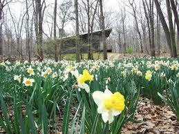 treetops daffodils