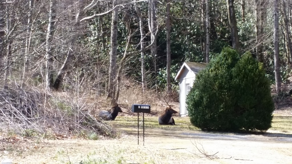 Elk hanging out maggie valley nc